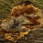 Guttatie (Fungus indet.)