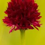 Gymnadenia austriaca var. gallica