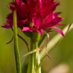 Gymnadenia bicolor