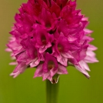 Gymnadenia buschmanniae