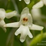 Gymnadenia conopsea - Grote muggenorchis - albiflora