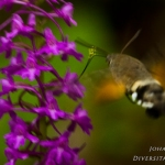 Gymnadenia conopsea - Grote muggenorchis & Macroglossum stellatarum - Kolibrievlinder: bestuiver