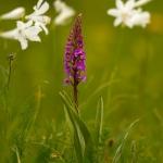 Gymnadenia conopsea + Paradisea liliastrum