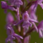 Gymnadenia conopsea - Grote muggenorchis