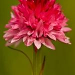Gymnadenia corneliana - Roze vanilleorchis