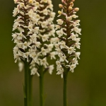 Gymnadenia odoratissima - Welriekende muggenorchis