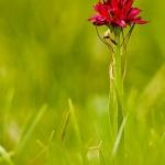 Gymnadenia rubra - Rode vanille-orchis