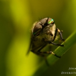 Haematopota pluvialis - Gewone Regendaas