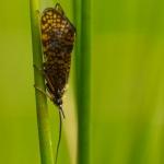 Ordo Trichoptera - Schietmotten