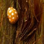Familia Coccinellidae - Lieveheersbeestjes
