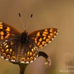 Hamearis lucina - Sleutelbloemvlinder