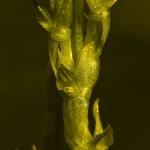 Hammarbya paludosa - Veenmosorchis