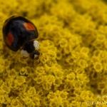 Harmonia axyridis var. spectabilis - Vierstippelig Zwart Veelkleurig Lieveheersbeestje