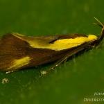 Harpella forficella - Bruine molmboorder