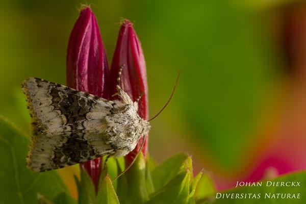 Hecatera bicolorata - Tweekleurige uil