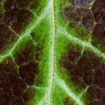 Familia Araliaceae - Klimopfamilie