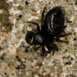 Heliophanus flavipes - Gewone blinker