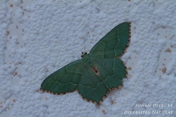 Hemithea aestivaria - Kleine zomervlinder