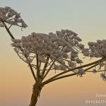 Heracleum mantegazzianum - Reuzenberenklauw
