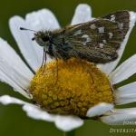 Familia Hesperiidae - Dikkopjes