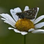 Hesperia comma - Kommavlinder