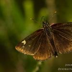 Heteropterus morpheus - Spiegeldikkopje