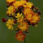 Hieracium aurantiacum - Oranje havikskruid