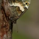 Hipparchia genava - Zwitserse boswachter