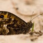 Hipparchia semele - Heivlinder