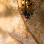 Hippodamia variegata - Ruigtelieveheersbeestje
