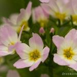 Hottonia palustris - Waterviolier