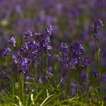 Hyacinthoides non-scripta - Wilde hyacint