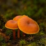 Phylum Basidiomycota - Steeltjeszwammen