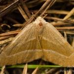 Hylaea fasciaria - Rode dennenspanner
