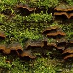 Hymenochaete rubiginosa - Roestkleurige borstelzwam