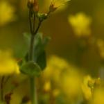 Hypericum elodes - Moerashertshooi