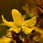 Familia Hypericaceae - Hertshooifamilie