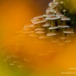 Hypholoma fasciculare - Gewone zwavelkop