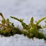 Familia Hypnaceae - Klauwtjesmosfamilie