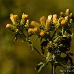 Inula conyzae - Donderkruid