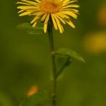 Inula salicina - Wilgalant
