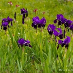 Iris pseudopumila