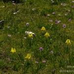 Iris pseudopumila & Anemone hortensis