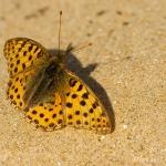 Issoria lathonia - Kleine parelmoervlinder