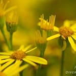 Jacobaea vulgaris - Jakobskruiskruid