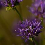 Jasione montana - Zandblauwtje