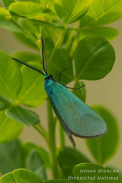Jordanita globulariae - Prachtmetaalvlinder