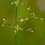 Juncus subnodulosus - Paddenrus