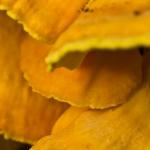Laetiporus sulphureus - Zwavelzwam