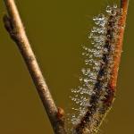 Lasiocampa quercus - Hageheld
